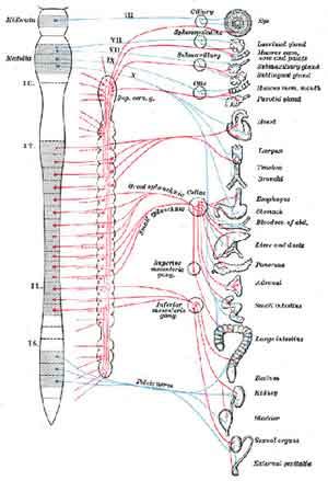 esquema sistema vegetativo osteopatía