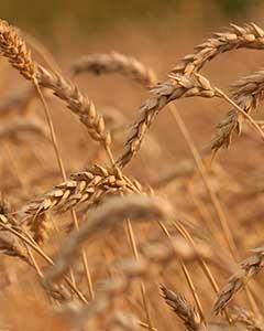 Cereales para carne de calidad